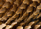 Free Stock Photo: Close-up of a pine cone