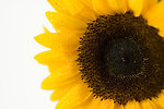 Free Stock Photo: Close-up of a sunflower isolated on a white background