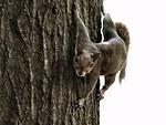Free Stock Photo: squirrel on tree