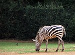 Free Stock Photo: Zebra