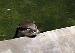 Free Stock Photo: Otter resting head