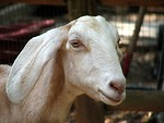 Free Stock Photo: Goat portrait