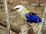 Free Stock Photo: Blue bird