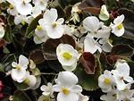 Free Stock Photo: White flowers