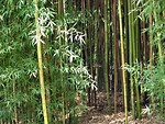 Free Stock Photo: Bamboo