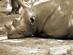 Free Stock Photo: Rhinoceros resting black and white