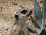 Free Stock Photo: Meerkat standing