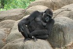 Free Stock Photo: Gorilla sitting on a rock