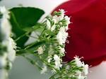 Free Stock Photo: Red rose closeup