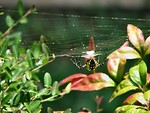 Free Stock Photo: Yellow spider