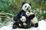 Free Stock Photo: Group of pandas in the snow