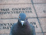 Free Stock Photo: Closeup of pigeon