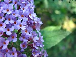 Free Stock Photo: Purple flowers