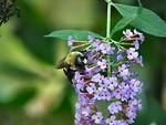 Free Stock Photo: Bumblebee on purple flowers
