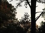 Free Stock Photo: Tree silhouettes