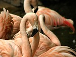 Free Stock Photo: Pink flamingos