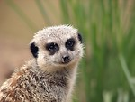 Free Stock Photo: Closeup portrait of a meerkat