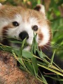 Free Stock Photo: Closeup of a red panda eating bamboo