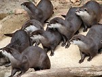 Free Stock Photo: Group of otters