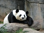 Free Stock Photo: A panda resting on a log