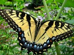 Free Stock Photo: Closeup of a yellow butterfly