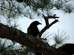 Free Stock Photo: Silhouette of a crow in a tree
