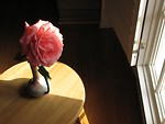 Free Stock Photo: Large pink camellia by a sun lit window