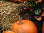 Free Stock Photo: Pumpkins and straw
