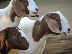 Free Stock Photo: Closeup of three goats