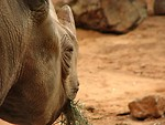 Free Stock Photo: Closeup of a rhinoceros