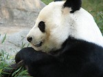 Free Stock Photo: Closeup of a panda bear