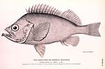 Free Stock Photo: Black and white fish illustration