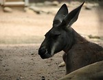 Free Stock Photo: High contrast kangaroo closeup