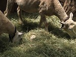 Free Stock Photo: Two sheep eating hay off the ground
