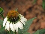Free Stock Photo: Closeup of a white coneflower