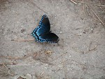 Free Stock Photo: Blue butterfly spreading its wings