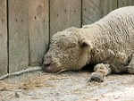 Free Stock Photo: A sheep sleeping against a wall