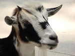 Free Stock Photo: Closeup of a black and white colored goat