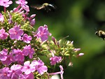 Free Stock Photo: Bees hovering around small purple flowers