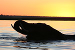 Free Stock Photo: Silhouette of an elephant at sunset