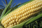 Free Stock Photo: Close-up of an ear of corn in a field