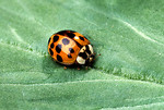 Free Stock Photo: An orange ladybug on a green leaf