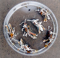 Free Stock Photo: Dead grasshoppers in a petri dish