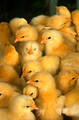 Free Stock Photo: A group of young chicks