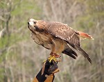 Free Stock Photo: Close-up of a red-tailed hawk perched on a glove
