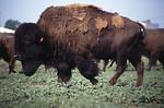 Free Stock Photo: A small herd of buffalo