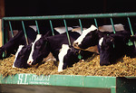 Free Stock Photo: A row of Holstein dariy cows eating from a trough