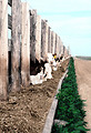 Free Stock Photo: Cows eating from a trough