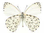 Free Stock Photo: A white butterfly isolated on a white background