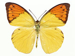 Free Stock Photo: An orange and yellow butterfly isolated on a white background